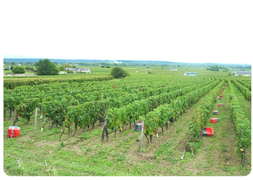 10-6-10-Harvesting-for-Nuits-d'Ivresse-2-Small