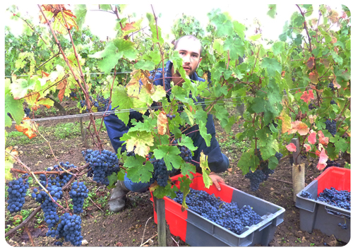 10-7-10-Harvesting-in-the-Clos-Senechal-2-Small