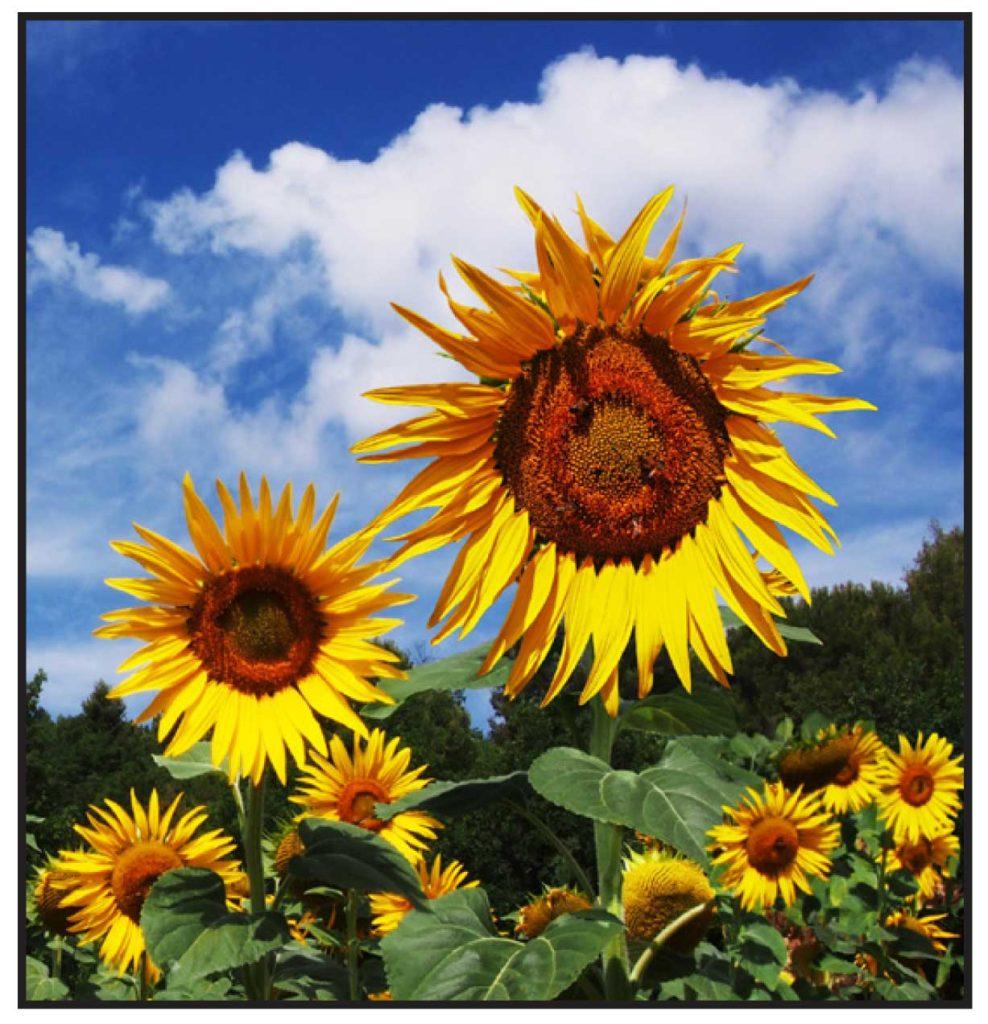 Sunflowers-photo