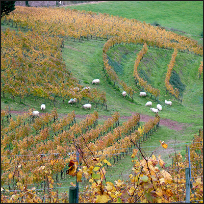 vineyard_sheep